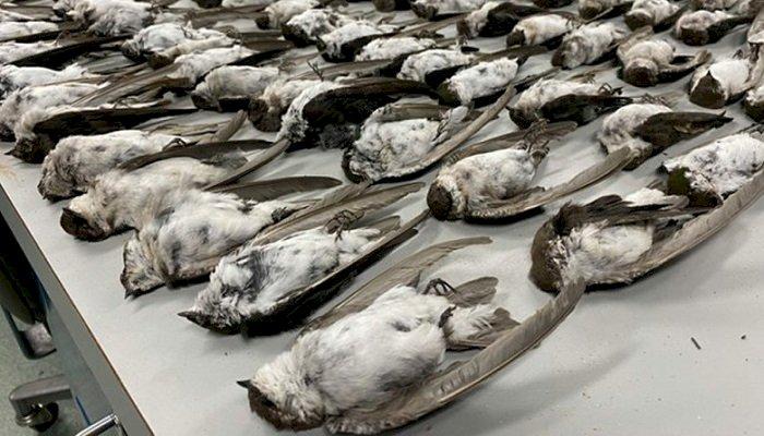 Misterul morții subite a mii de păsări, peste tot în lume, rămâne nerezolvat